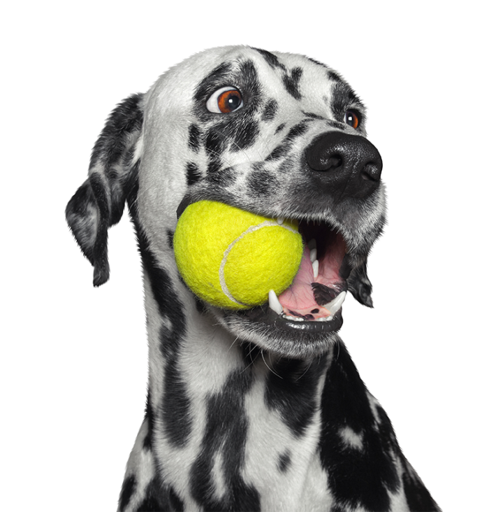 Dalmation Dog with Ball in mouth
