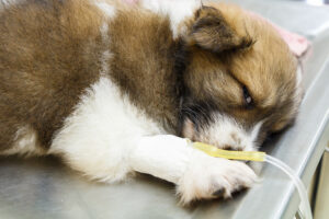 Puppy on an IV