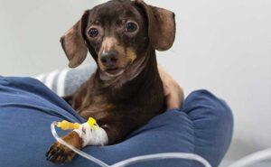 Puppy on IV